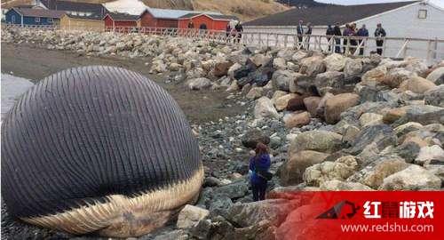 鲸鱼为什么会搁浅 鲸鱼爆炸是怎么回事儿