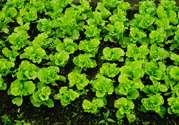 3月份种什么蔬菜好?三月份可以种什么蔬菜?