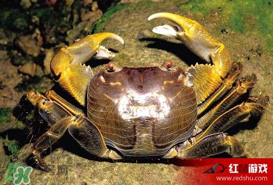 春天吃螃蟹应该选公的好还是母的好 春天螃蟹是公的好还是母的图片