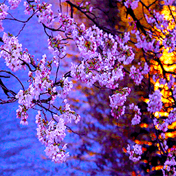 3D Kyoto Evening Sakura Free